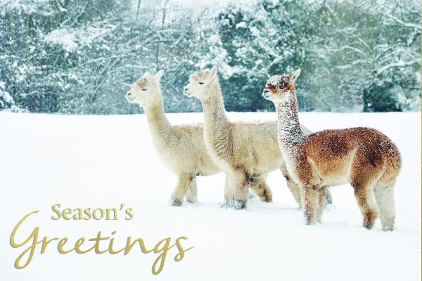 Alpacas in the Snow Christmas card